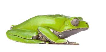 Giant leaf frog - Phyllomedusa bicolor